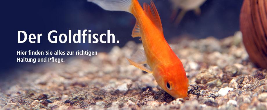 Haltung und Pflege Goldfisch bei Zoo und Co.