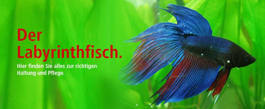 Labyrinthfisch, Siamesischer Kapffisch bei ZOO und Co.