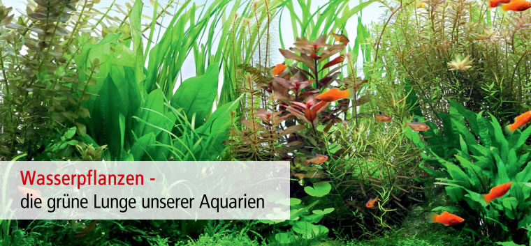 Wunderschone Aquarien Pflanzen Gibt Es Im Zoo Co Markt Zoo Co